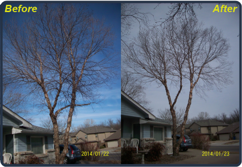 Before and After Birch Tree Trimming.