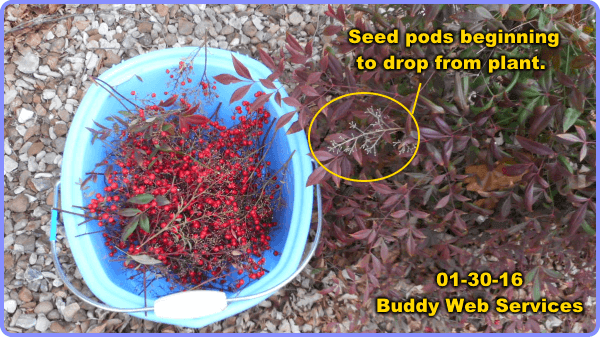 3-nandina-berries-bucket-bush