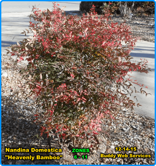 nandina-shrub-green